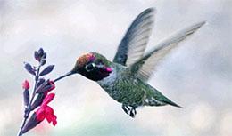 Franka Hummingbird Photo